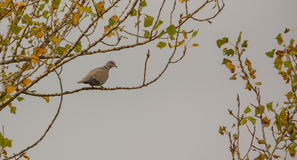 Collared Dove in autumnal ambient Stock Images