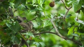 Collared dove bilding nest stock video