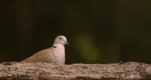 Collared Dove with black background Royalty Free Stock Image