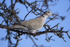 Collared dove on the branch. The Eurasian Collared Dove, Streptopelia decaocto, also spelled Eurasian Collared-Dove or called simply the Collared Dove,is one of Stock Photos