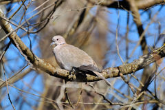 Collared Dove on a branch Stock Images