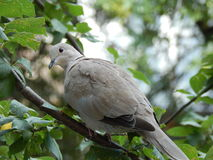 Collared dove on a branch. Collared dove sitting on a tree branch Royalty Free Stock Photo