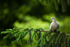Collared dove on a branch Royalty Free Stock Photo