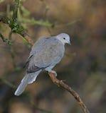 Collared Dove. At Calke Abbey,Derbyshire stock photos