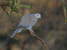 Collared Dove Royalty Free Stock Images