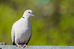 Collared Dove Stock Photography