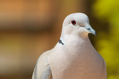 Collared Dove Stock Images