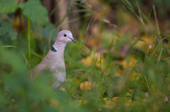 Collared Dove in cover Royalty Free Stock Photos