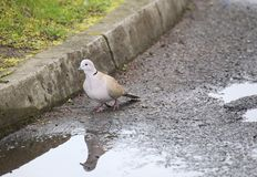 Collared Dove At The Curb Royalty Free Stock Photos