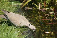 Collared Dove drinking from pond Stock Photo