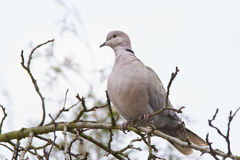 Collared dove in early spring. Eurasian collared dove (Streptopelia decaocto) perching on tree in misty forest in early spring Stock Images