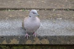 Collared Dove at the Edge of a Frosty Step stock images