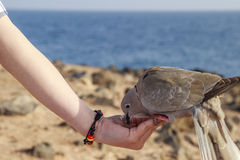 Collared Dove feeding from a hand Royalty Free Stock Photography