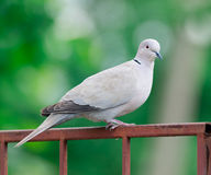 Collared Dove On Fence Royalty Free Stock Images