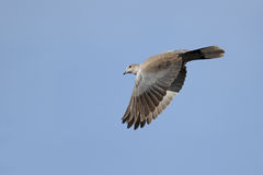 Collared dove in flight. Eurasian Collared Dove, Streptopelia decaocto, in flight with open wings pointed downward against blue sky Royalty Free Stock Photography