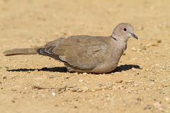 Collared Dove On The Ground Royalty Free Stock Image