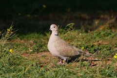 Collared dove on the ground / Streptopelia decaoct Stock Photo