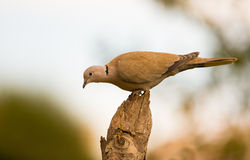 Collared Dove on log Royalty Free Stock Photos