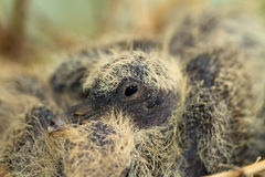 Collared dove nest with chicks / Streptopelia deca Stock Images