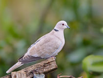Collared Dove perched on garden fence Stock Photos
