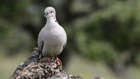 Collared dove perched stock video