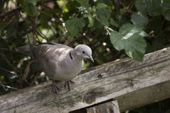 Collared Dove Royalty Free Stock Photography