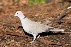 Collared Dove on Pine Needles Stock Photo