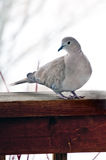 Collared Dove on the porch rail Royalty Free Stock Images