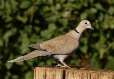 Collared Dove. Portrait of a Collared Dove Royalty Free Stock Photos