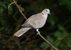 Collared Dove Royalty Free Stock Photo