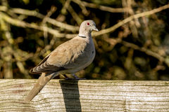 Collared dove sat on a fence Royalty Free Stock Photo