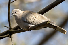 Collared Dove that sits on a branch on a afternoon Stock Photos