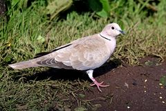 Collared dove standing in grass field Stock Photo