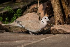 Collared Dove on Stone Patio. Eurasion Collared Dove Streptopelia decaocto on stone patio almost camoflaged against rocks and tree Stock Photography