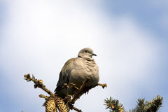 Collared dove / Streptopelia decaocto Royalty Free Stock Image