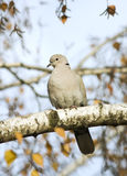 Collared dove / Streptopelia decaocto Royalty Free Stock Images