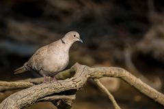 Collared dove or Streptopelia decaocto on branch. Close up beautiful Collared dove or Streptopelia decaocto perching on tree branch with dark river background stock photos