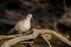 Collared dove or Streptopelia decaocto on branch. Close up beautiful Collared dove or Streptopelia decaocto perching on tree branch with dark river background royalty free stock photos