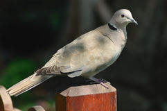 Collared dove (Streptopelia decaocto). Perched on a fence Stock Image