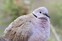 Collared Dove (Streptopelia decaocto) Stock Photo