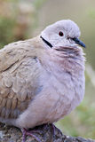 Collared Dove (Streptopelia decaocto) Royalty Free Stock Image