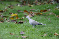 Collared dove, Streptopelia decaocto Royalty Free Stock Photography