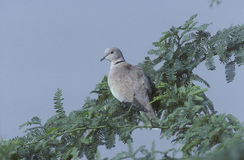 Collared dove, Streptopelia decaocto Royalty Free Stock Images