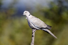Collared dove, Streptopelia decaocto Stock Image