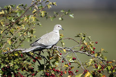 Collared dove, Streptopelia decaocto. Single bird on branch, Warwickshire, September 2012 stock images