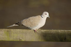 Collared dove, Streptopelia decaocto Royalty Free Stock Photos