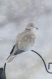 Collared dove, Streptopelia decaocto Royalty Free Stock Image