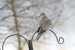 Collared dove, Streptopelia decaocto Stock Images