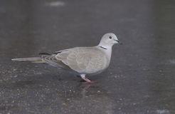 Collared dove, Streptopelia decaocto Stock Photos