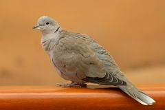 A collared dove Streptopelia decaocto sits on a ledge in the United Arab Emirates royalty free stock photos